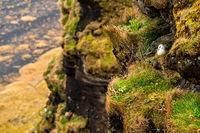 Wild pigeon bird in Dyrholaey, Iceland