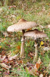 Riesenschirmpilz - Parasol mushroom 21