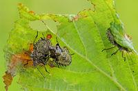 Forest bug larva (Pentatoma rufipes)