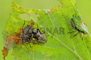 Larve der Rotbeinigen Baumwanze (Pentatoma rufipes)