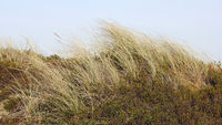 Beach grass and Crowberry in the dunes