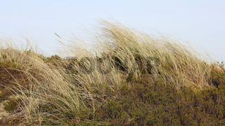Strandhafer auf einer Düne am Watt