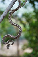 Common cat snake hanging from a tree, Boiga trigonata, Satara, Maharashtra, India