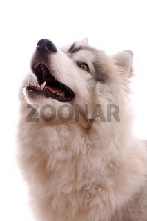 Junghund Husky hoch schauend