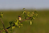 Male Whinchat