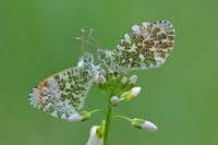 Orange tip butterfly (Anthocharis cardamines)