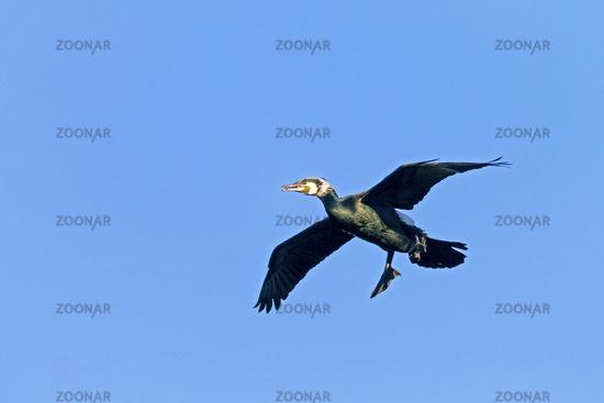 Great Cormorant in breeding plumage