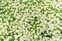 Daisy camomile flowers on field