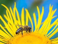 Macro of a honeybee