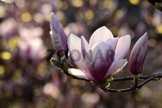 Close-up of Blossoming magnolia tree