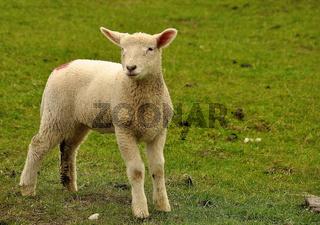 Junges Lamm an der Nordsee