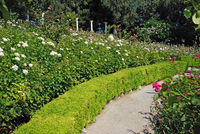 path among the roses in a beautiful garden