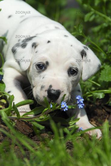Dalmatian puppy, three weeks old, in a garden