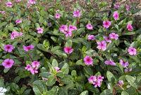 Madagaskar Immergruen, Cathranthus roseus