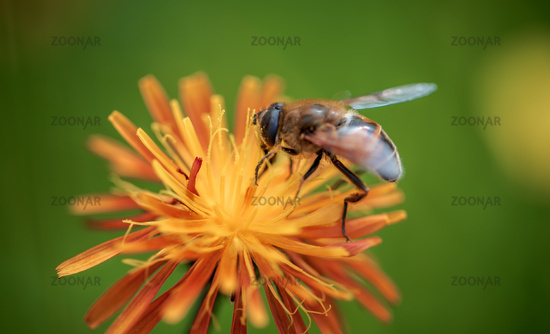 Bee pollinating and collects nectar from the flower of the plant