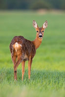 Roe deer doe in vertical composition facing camera on meadow in springtime