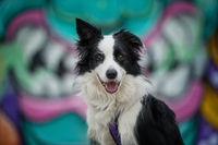 Young border collie dog with colorful background