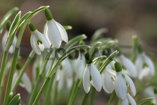 Schneegloeckchen (Galanthus)