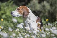 Beagle in flower meadow