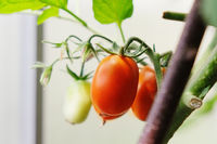 Tomato plants in greenhouse Green tomatoes plantation. Organic farming, young tomato plants growth in greenhouse