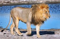 lion in the morning light, Etosha National Park, Namibia