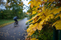 Typical day in autumn. View at yellow fall leaves and a blurry bicycle rider in the background