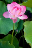 Beautiful fuchsia Lotus