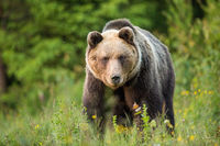 Brown bear staring into a camera from front view on a green meadow.