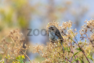 bird brown-rumped seedeater, Africa. Ethiopia wildlife