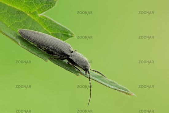 Hemicrepidius niger