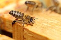 eine Biene beim Luftfächern