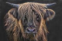 scottish highland cattle 4