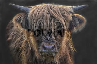 schottische Hochlandrinder junge Kuh 4
