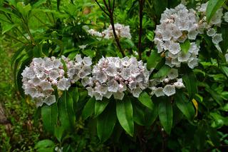 Breitblättrige Lorbeerrose, Kalmia latifolia, Berglorbeer,