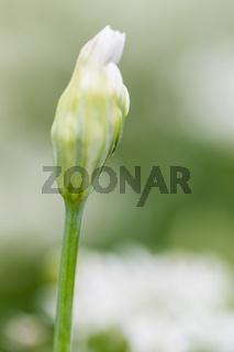 Schnittlauch (Allium schoenoprasum