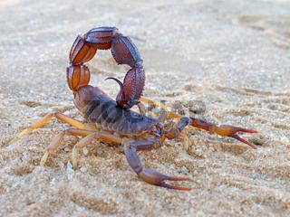 Aggressive scorpion