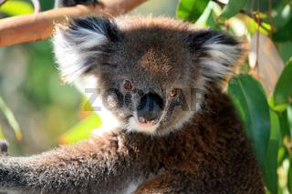 Koalabär in einem Baum