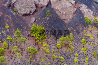 Canary Island pines or Pinus canariensis in San Antonio Volcano crater in the Island of La Palma1