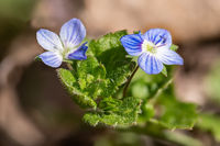 Detail view of the flowers of the Veronica speedwell plant against a blurred background