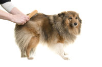 Longhaired dog being groomed or combed isolated on a white background
