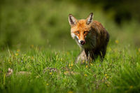 Red fox licking its mouth on vibrant glade in summer sunlight
