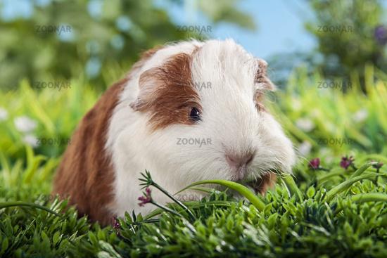 little swiss teddy guinea pig