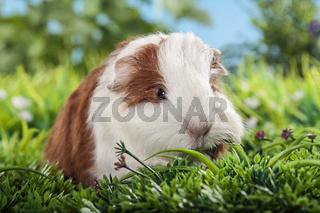 Meerschweinchenbaby Rassetier Schweizer Teddy