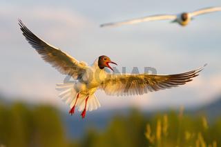 Black-headed gull hovering in summer evening sunlight