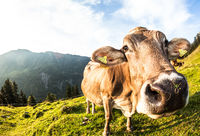 Brown breed cow