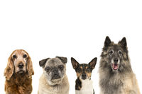Portraits of various breeds of elderly senior dogs isolated on a white background