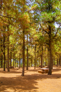 Cone forest in Gran Canaria
