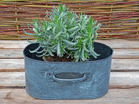 Decorative pot with lavender (Lavendula) on a wooden table