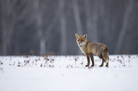 Rotfuchs,Vulpes vulpes, red fox