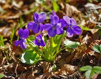 wood violet, hedge violet, pale wood violet, slender wood violet,
